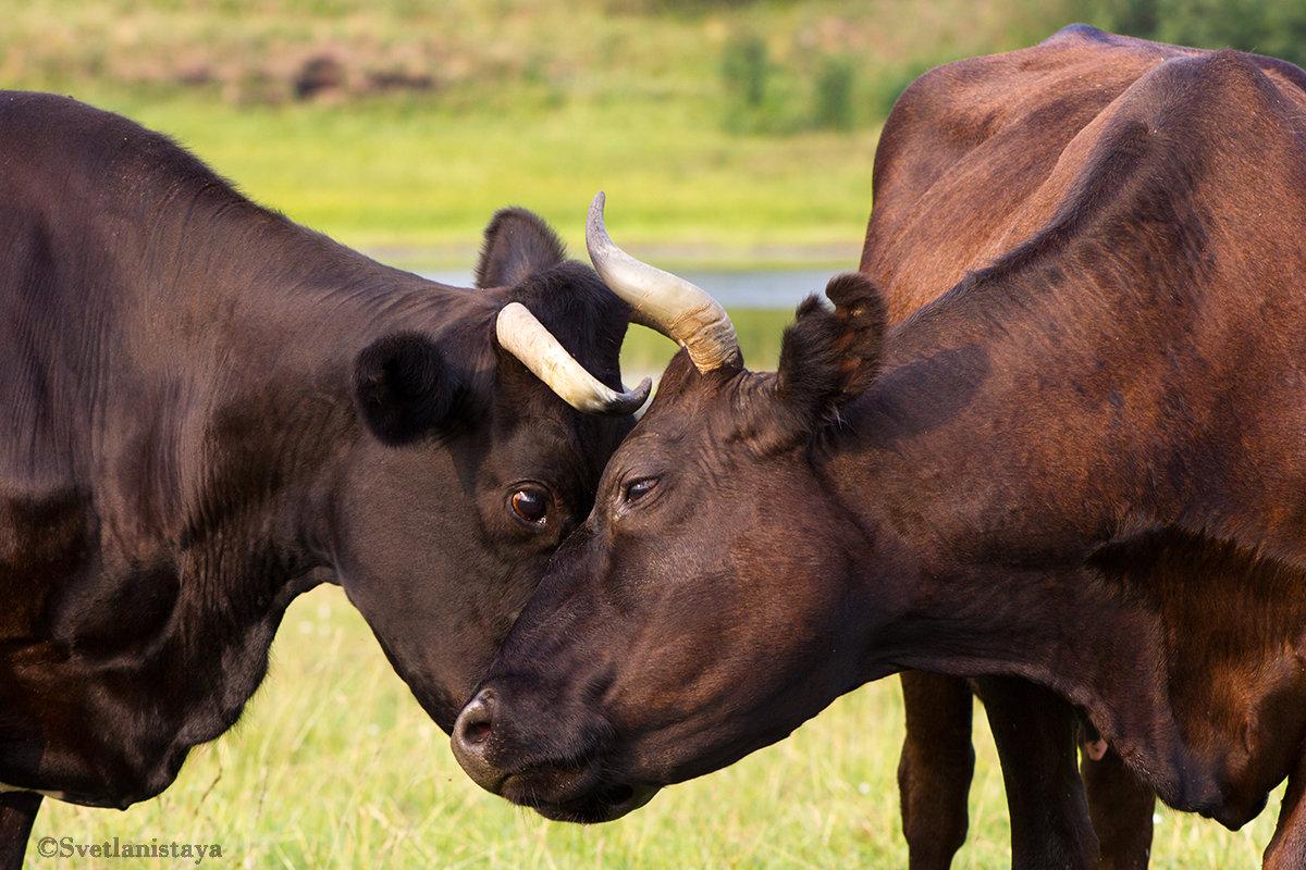 Коровы очищают друг друга от насекомых - Светлана Чуркина