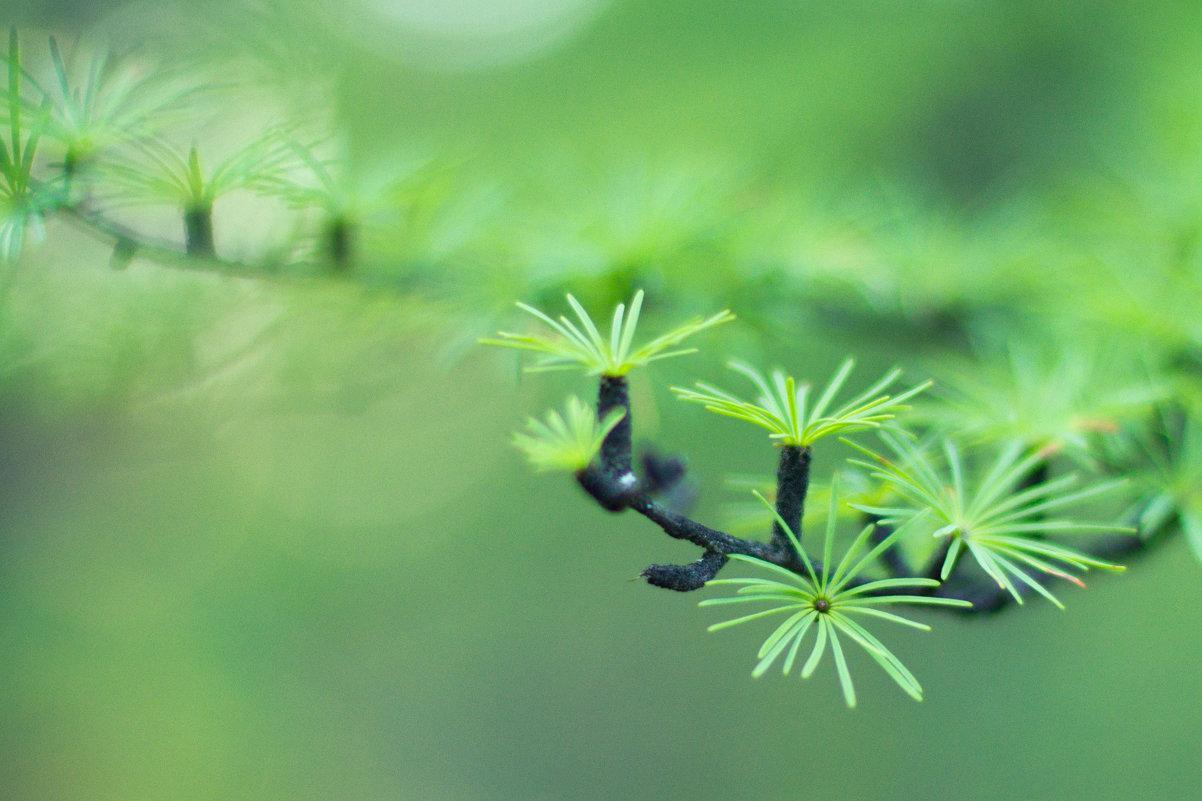 Еще зеленая лиственница - Natalia Petrenko