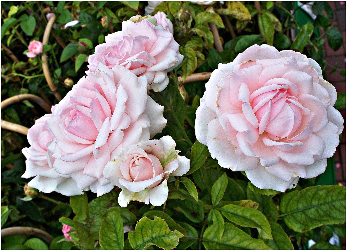 Розы. - Валерия Комова