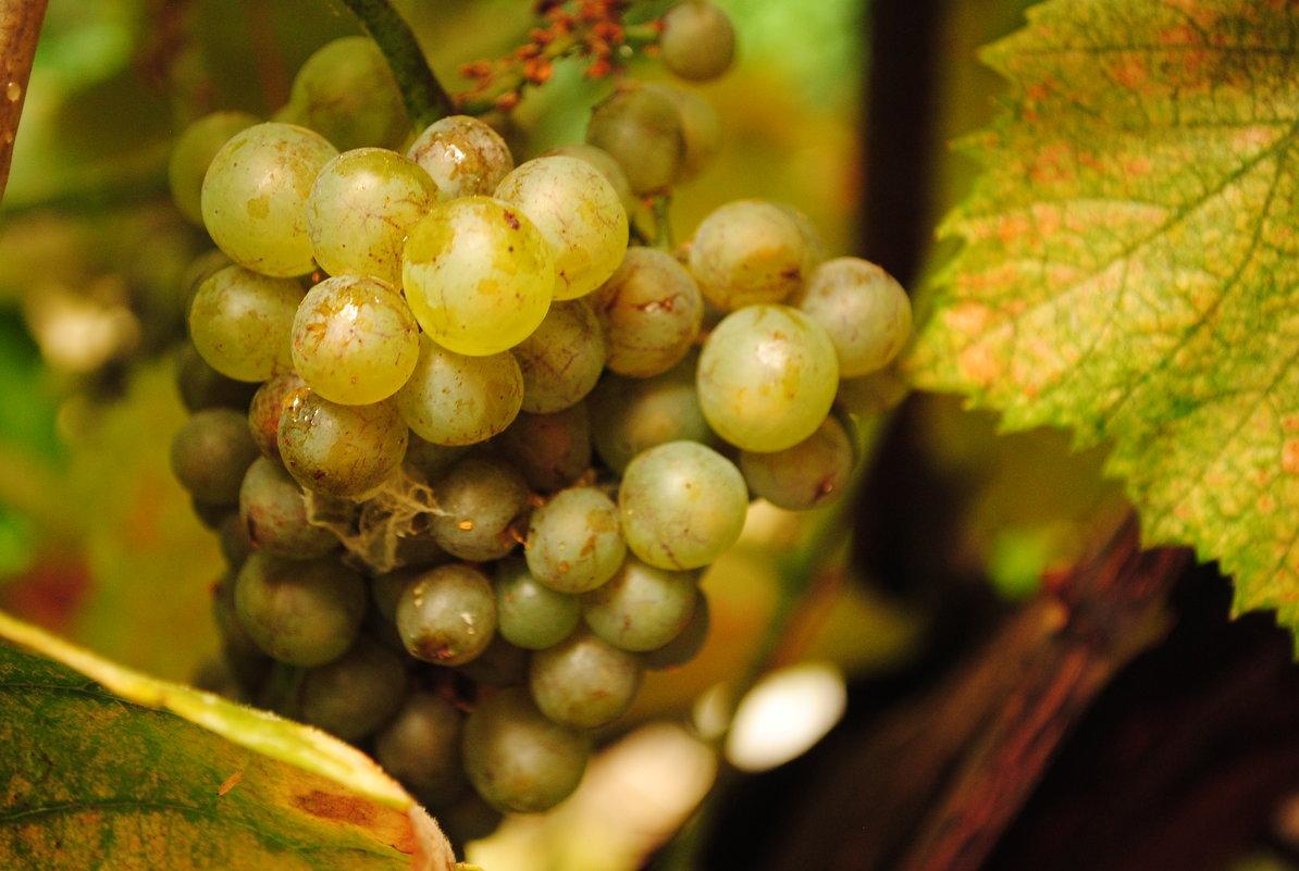 Спеющий виноград. 2 - Андрeй Владимир-Молодой