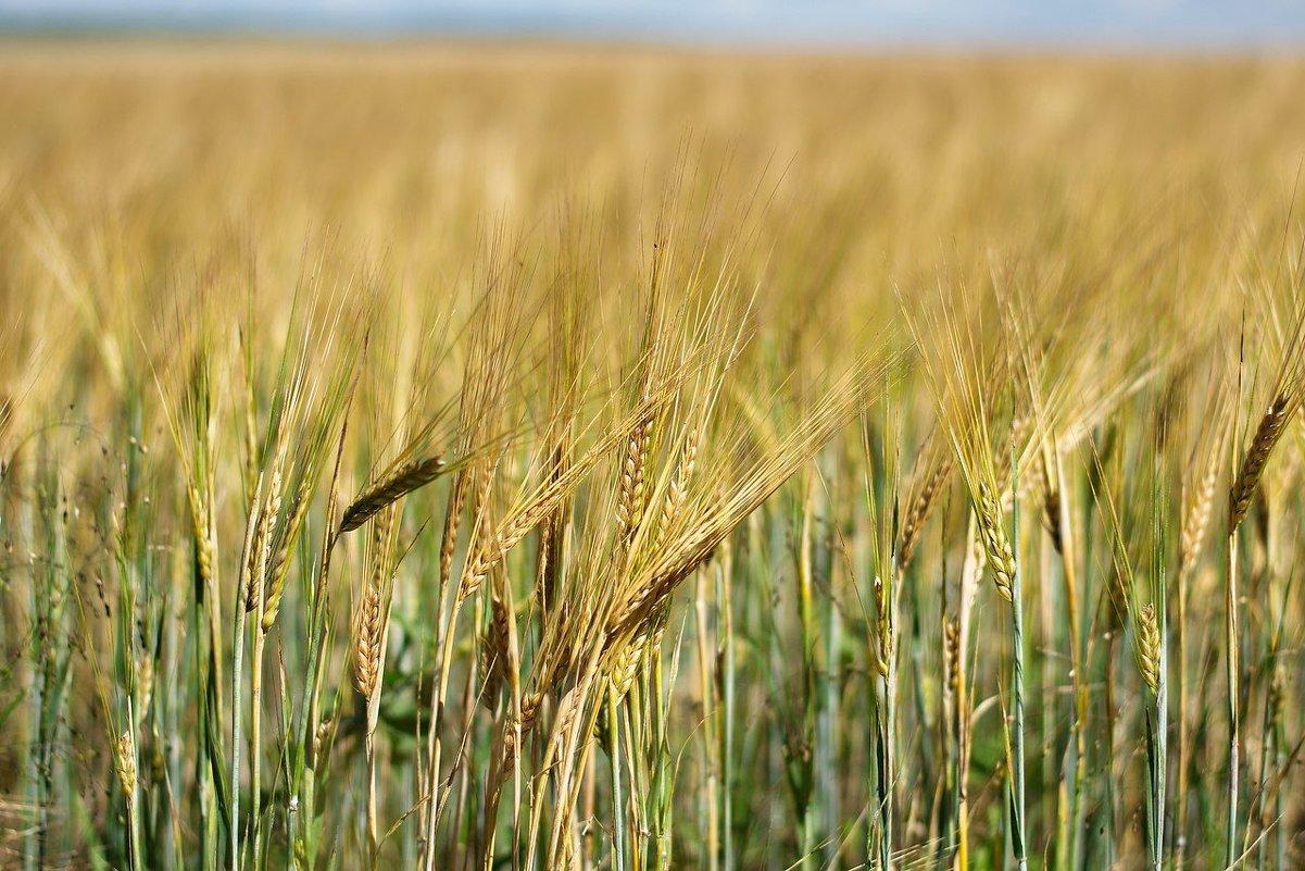 Колосья пшеницы - Валерий Подобный