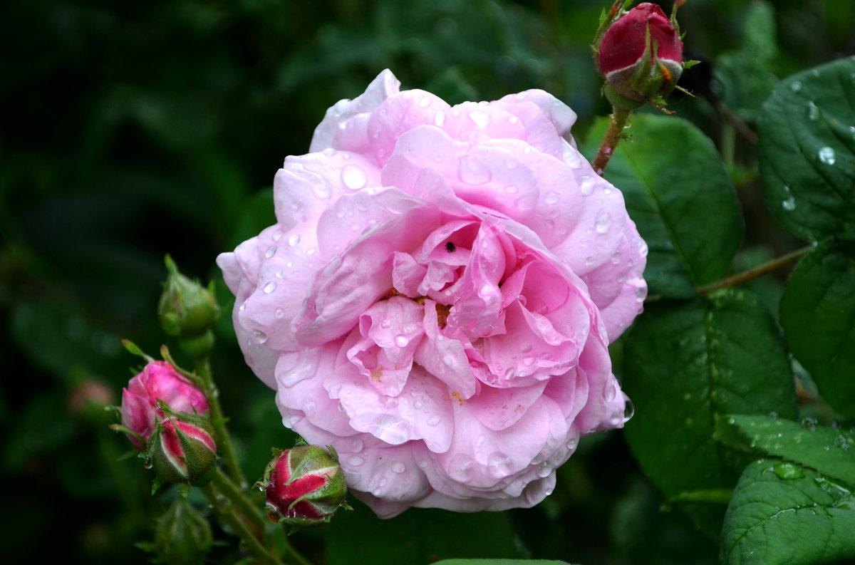 Роза с каплями росы - Марина Романова