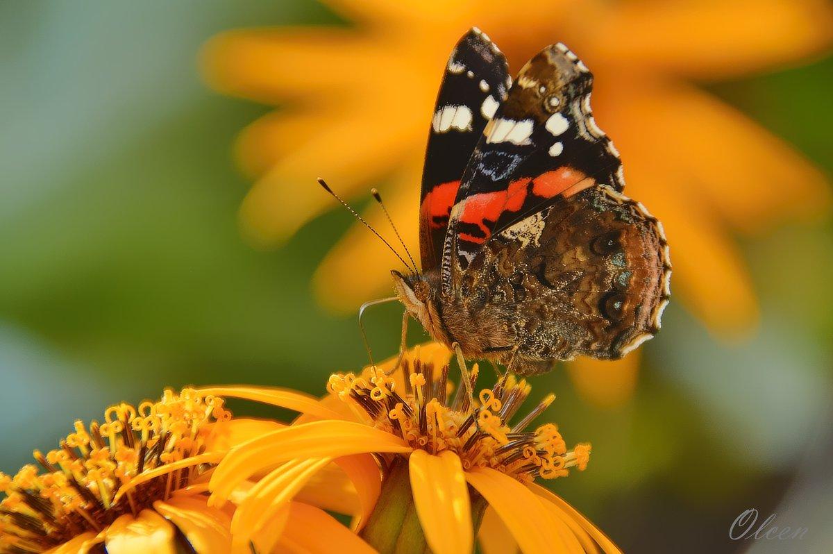 Бабочка на цветах - Olcen - Ольга Лён