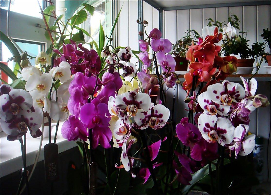 Вот такие орхидеи расцвели к 1 сентября - Нина Корешкова