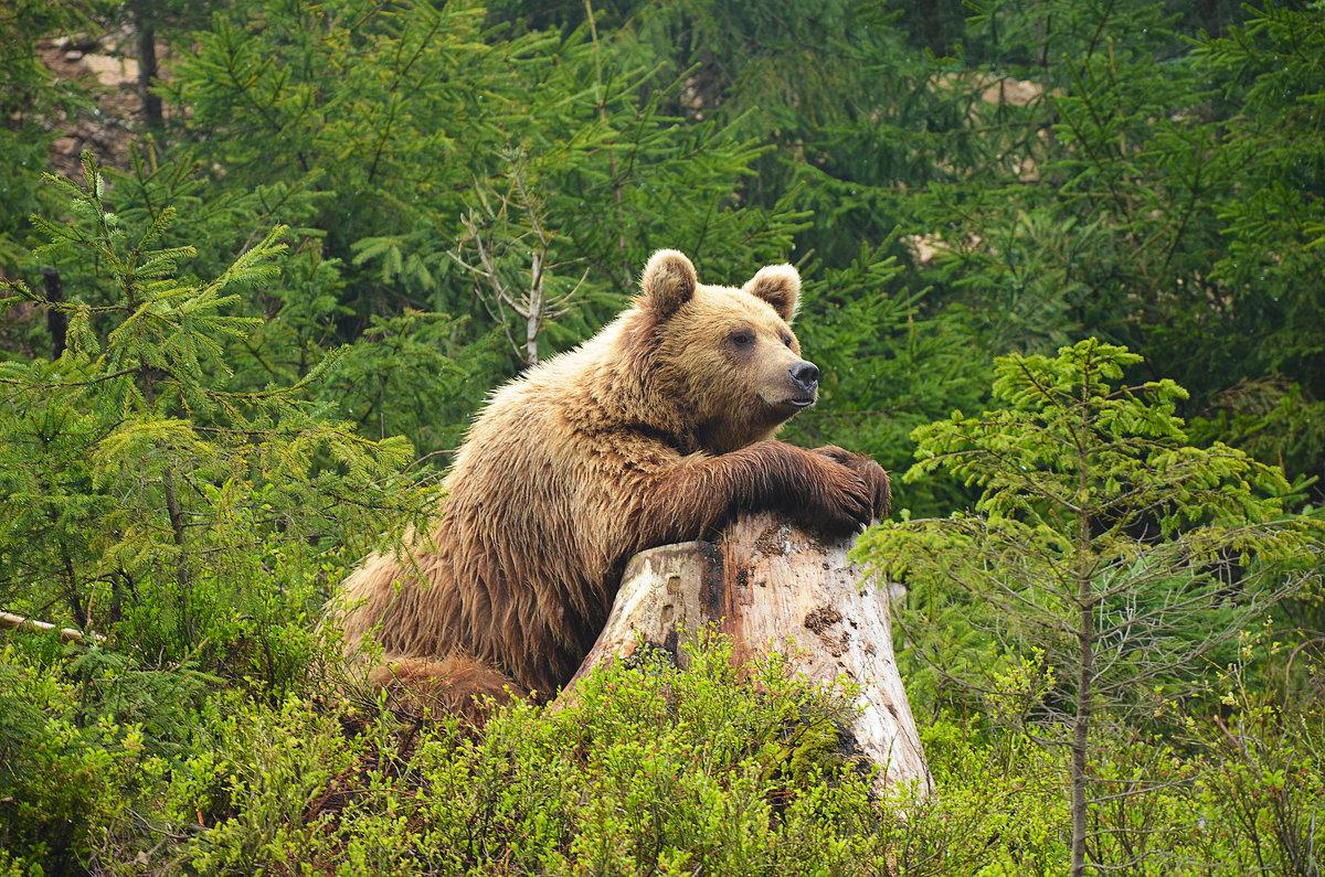 Закарпатский медведь - Олег Нигматуллин