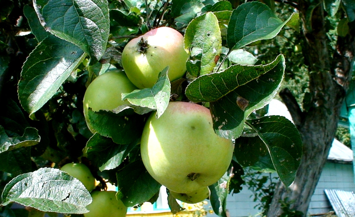 яблоки - elena манас