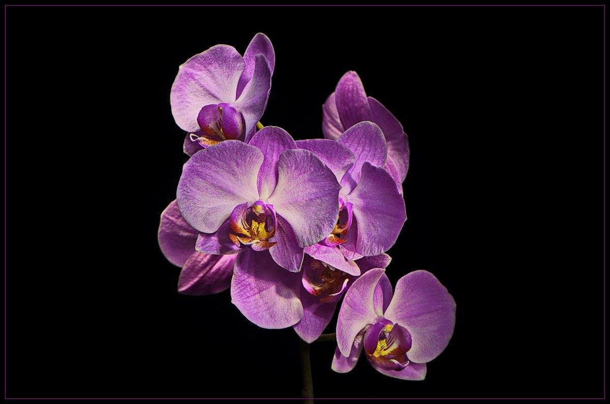орхидея - Svetlana Plasentsiia