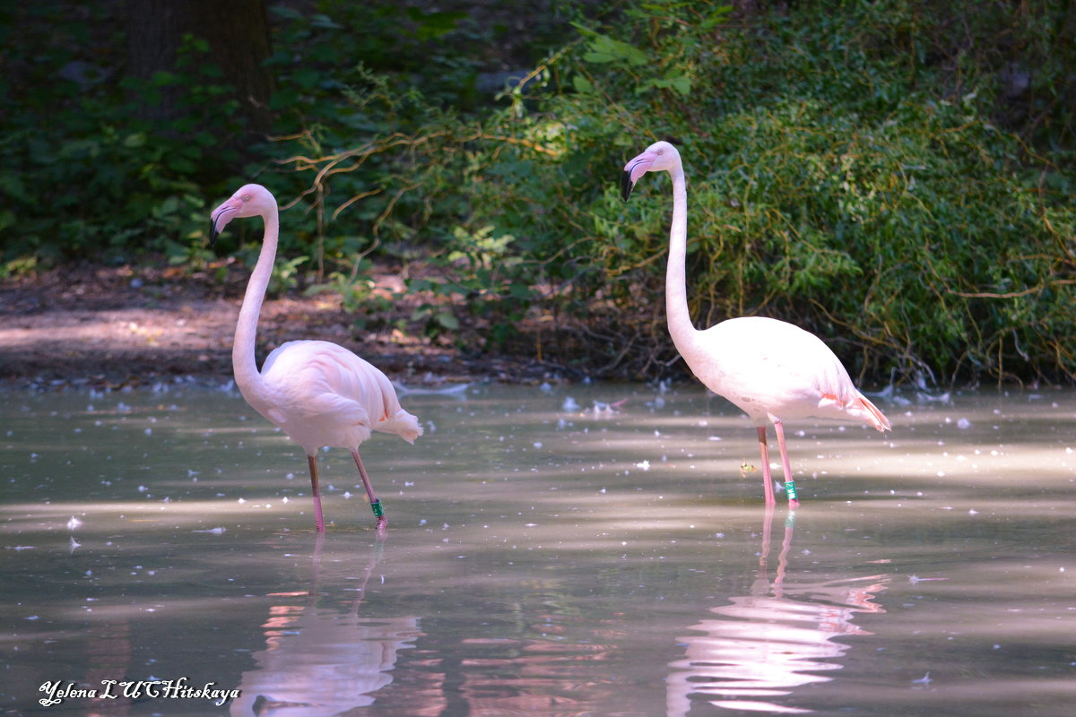 розовый фламинго - Yelena LUCHitskaya