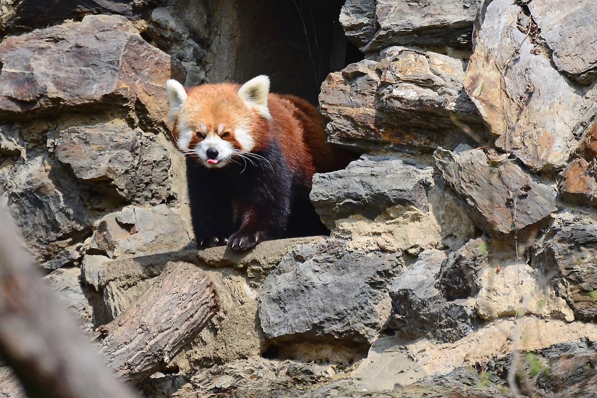 Красная панда - Владимир Брагилевский