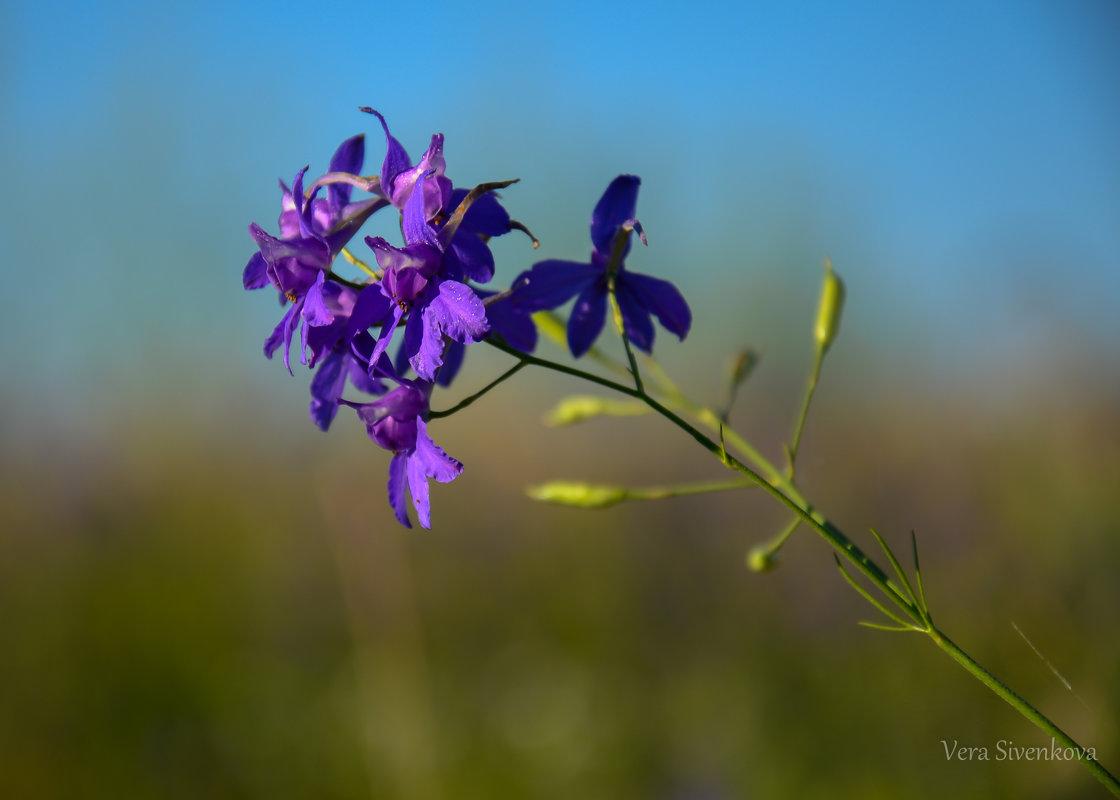 Полевой цветок - Вера