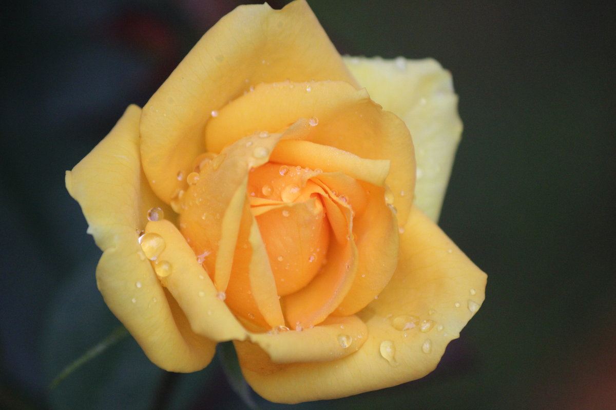 Поздняя чайная  роза - Виталий  Селиванов