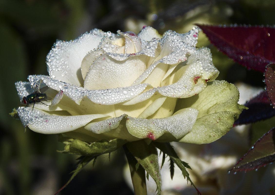 в каплях росы - лиана алексеева
