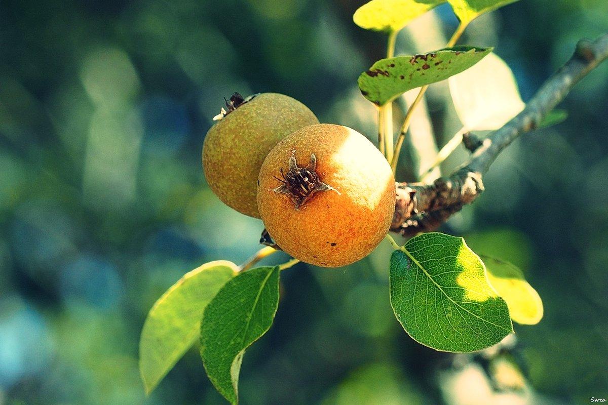 Плоды осени - Swetlana V