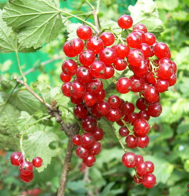 Красная смородина - татьяна