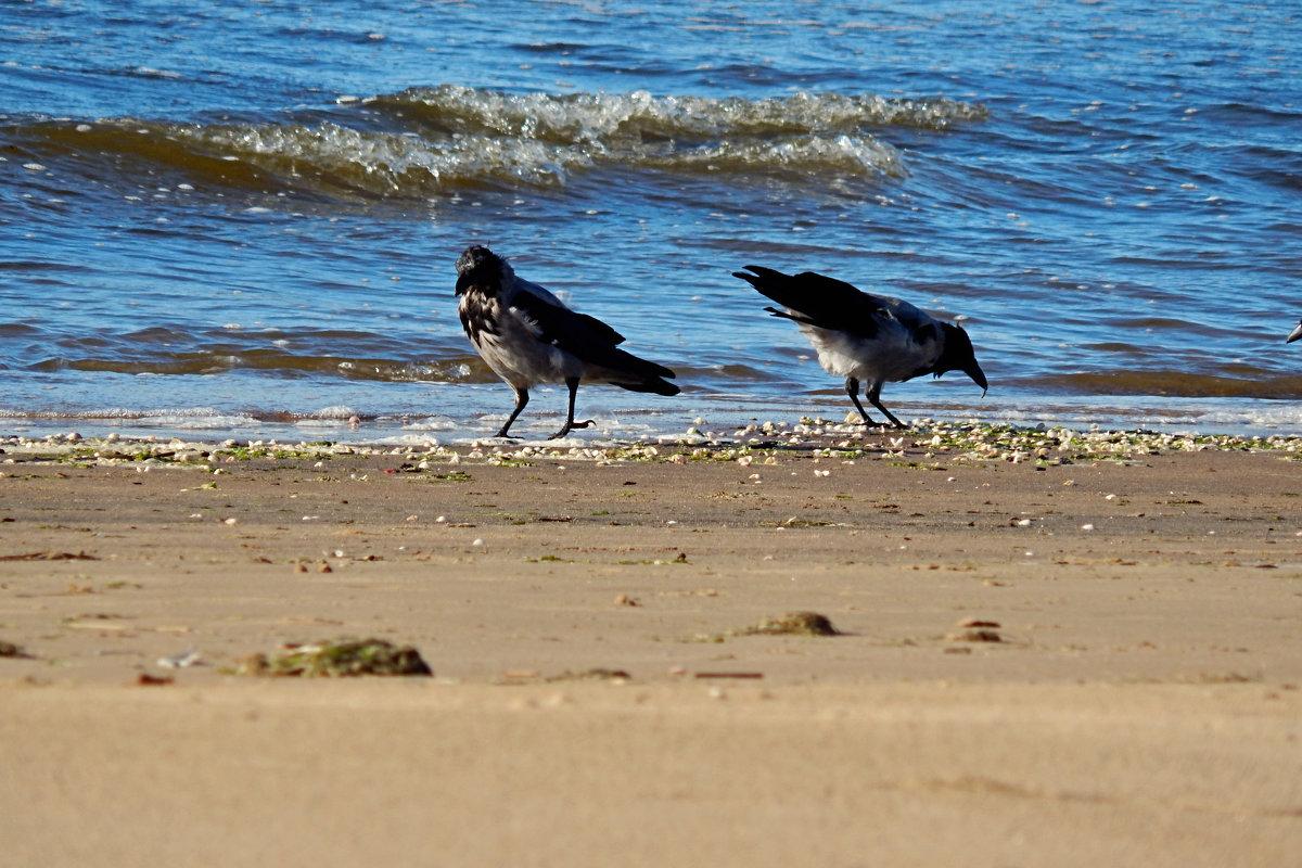 вороны на пляже - linnud