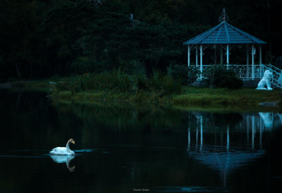 вот и первый лебедь на прудах - Timofey Chichikov