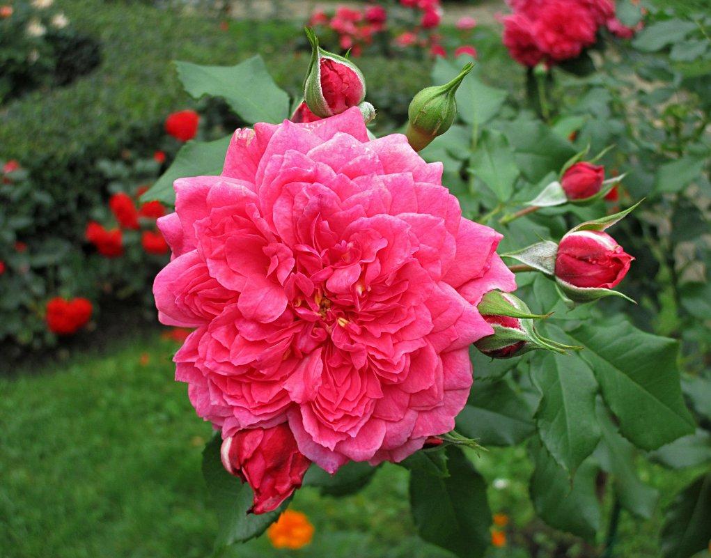 Роза - татьяна петракова