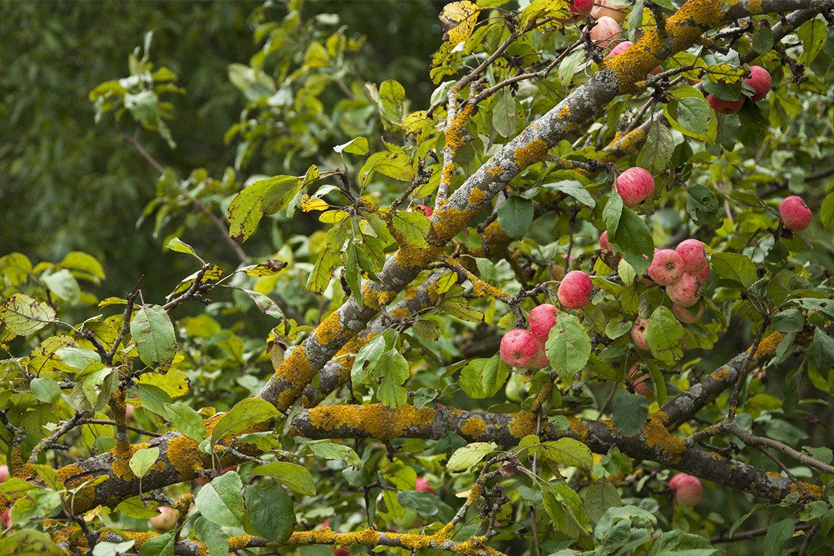 Лишайник и яблоки - Елена Попова