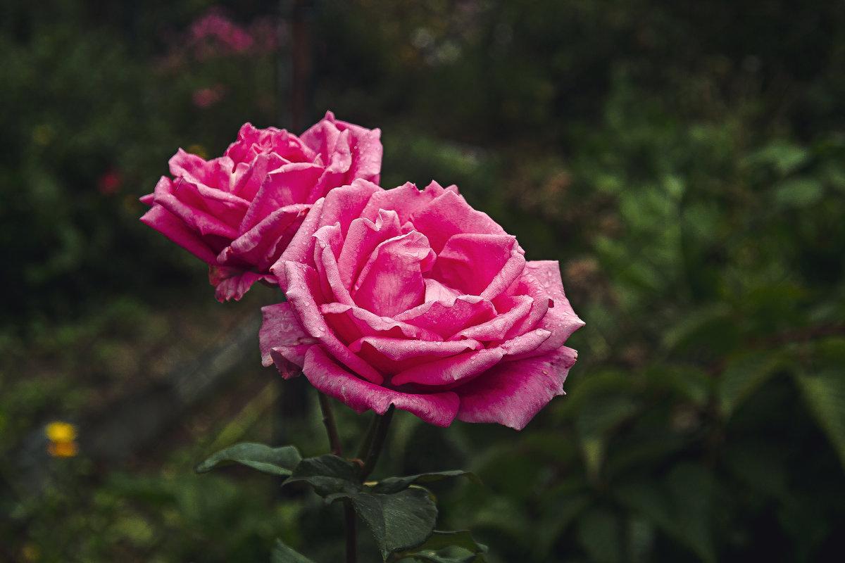 Роза - Анастасия Рябова