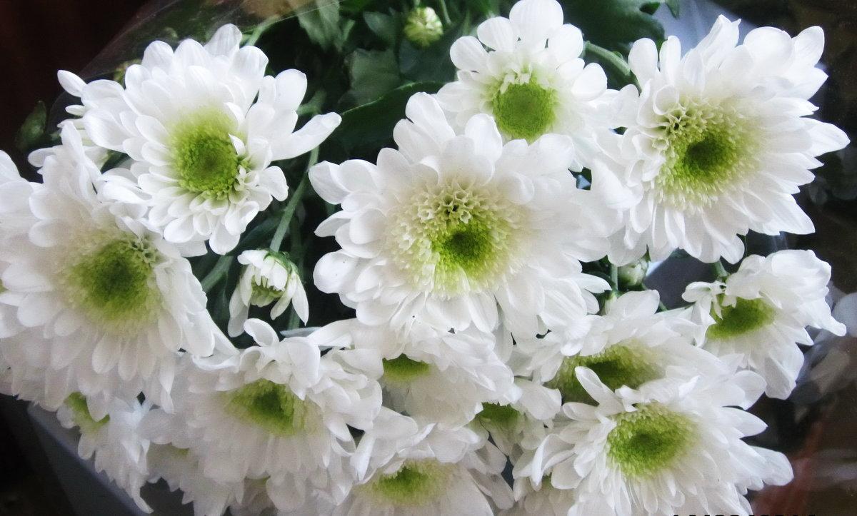 Белые хризантемы - татьяна