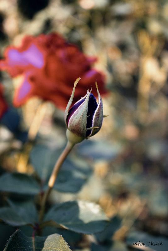 квіти троянди - Ольга Ткач