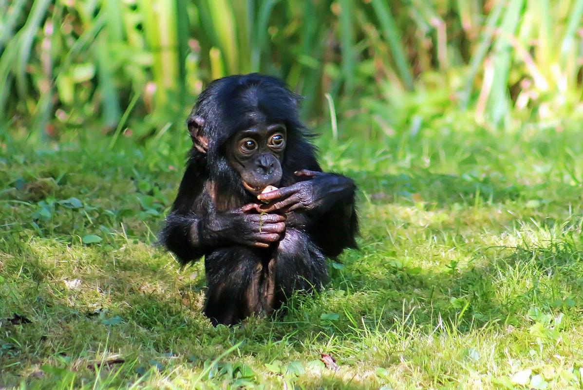 Маленький Бонобо - Alexander