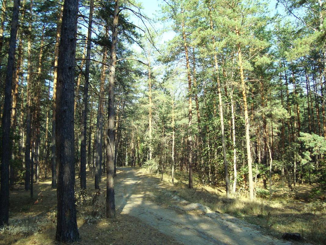 Дорога в лесу. Воронежская область - татьяна