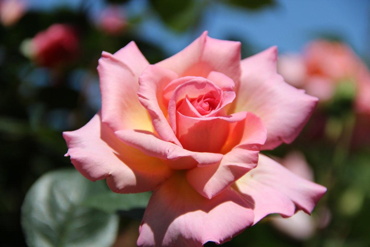 розовая роза - Елена Константиниди