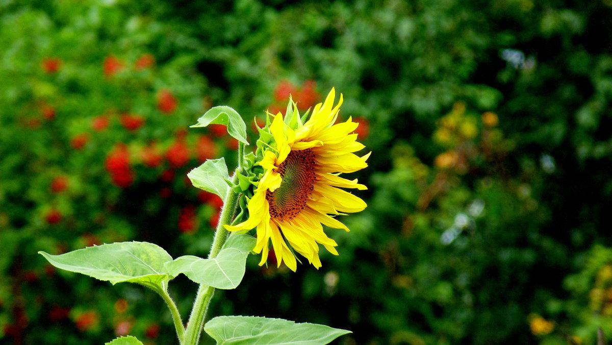 солнечный цветок - Александр Прокудин