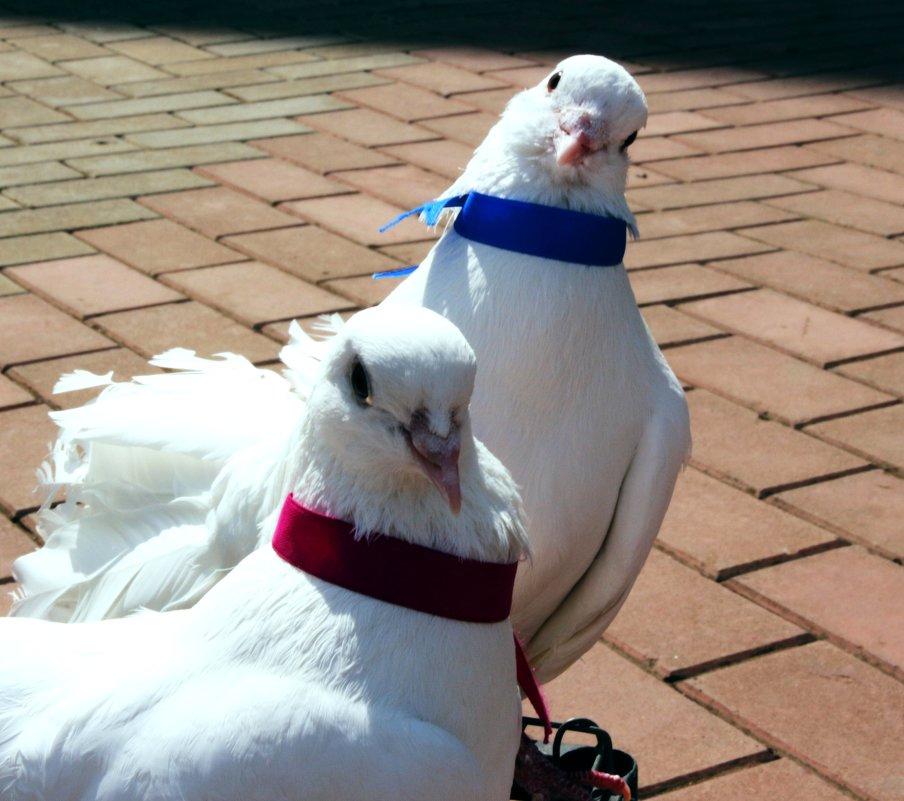 Любопытные свадебные голуби - Damir Si