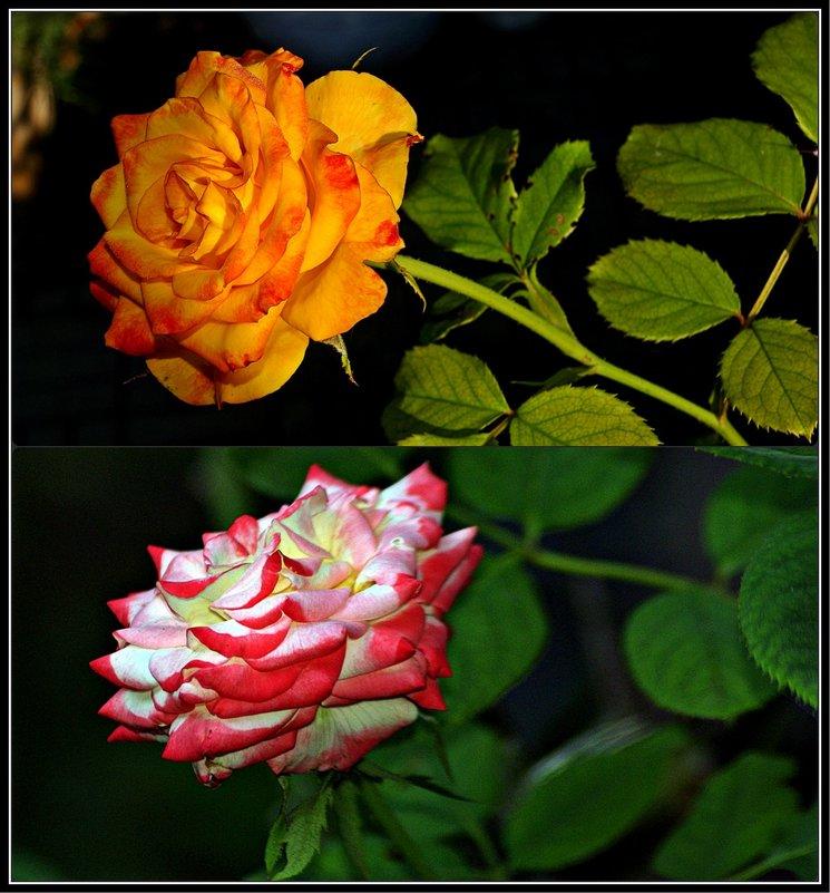 сентябрьские розы - Александр Корчемный