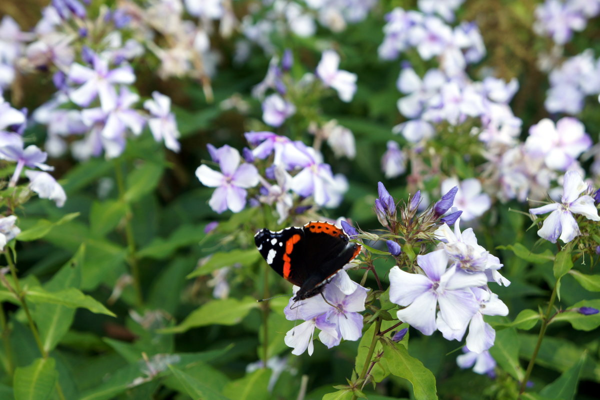 Бабочка и флоксы - Елена Павлова (Смолова)