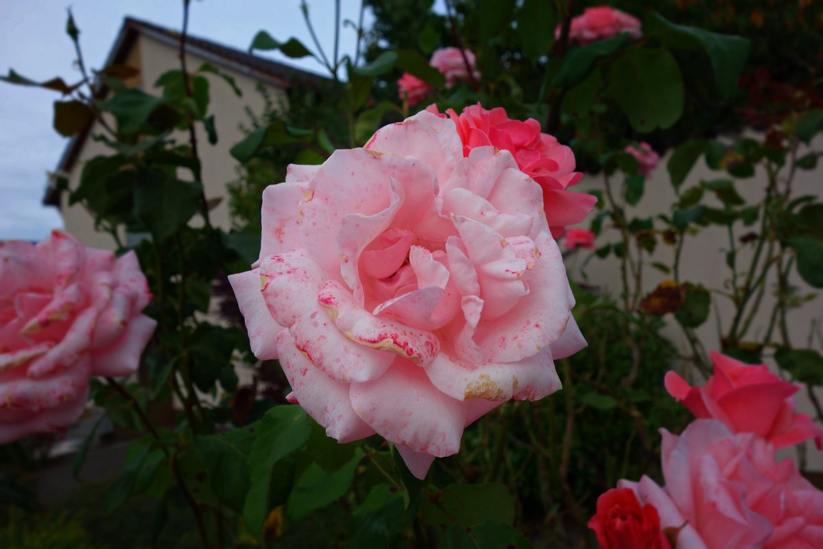 Розы сентября... - Galina Dzubina