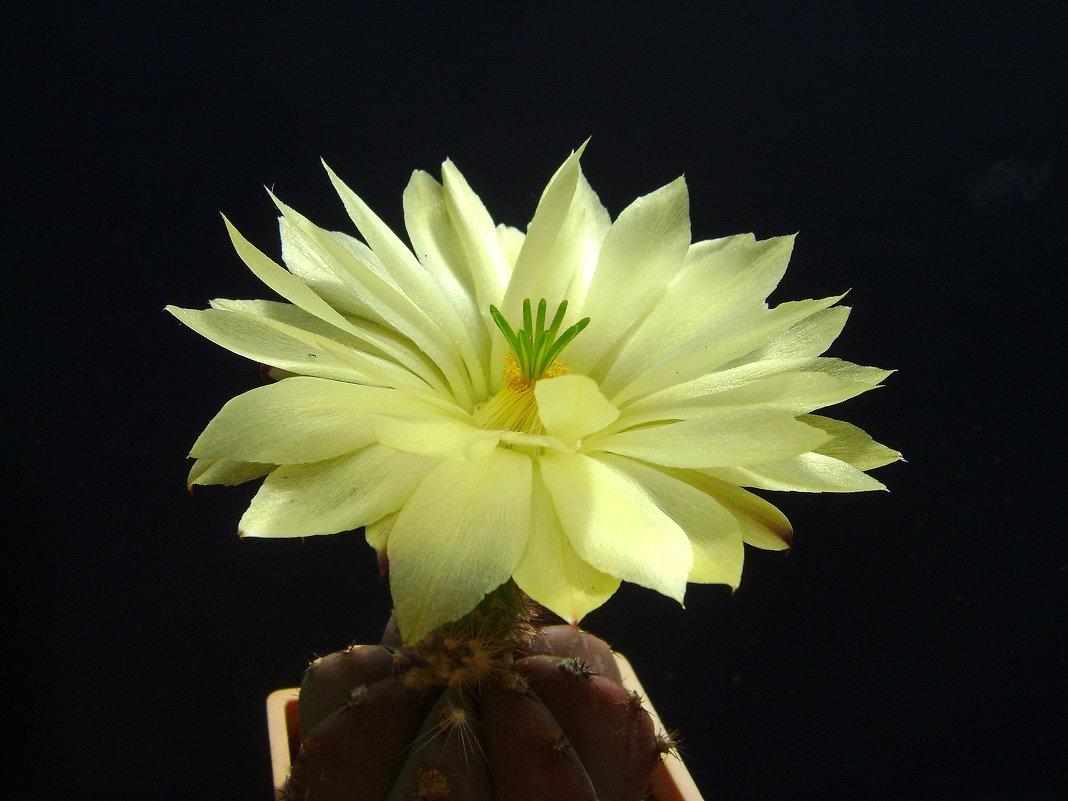 Цветок кактуса - MPS