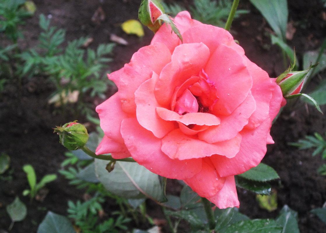 Розы, розы, розы... - татьяна