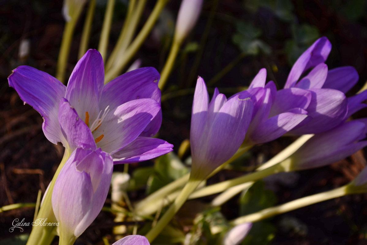 Безвременник - цветок осени - galina tihonova
