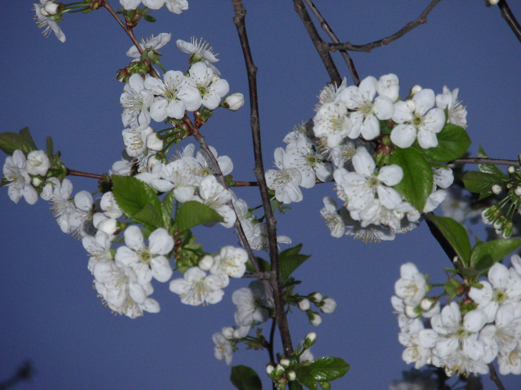Цвет вишни - Владимир