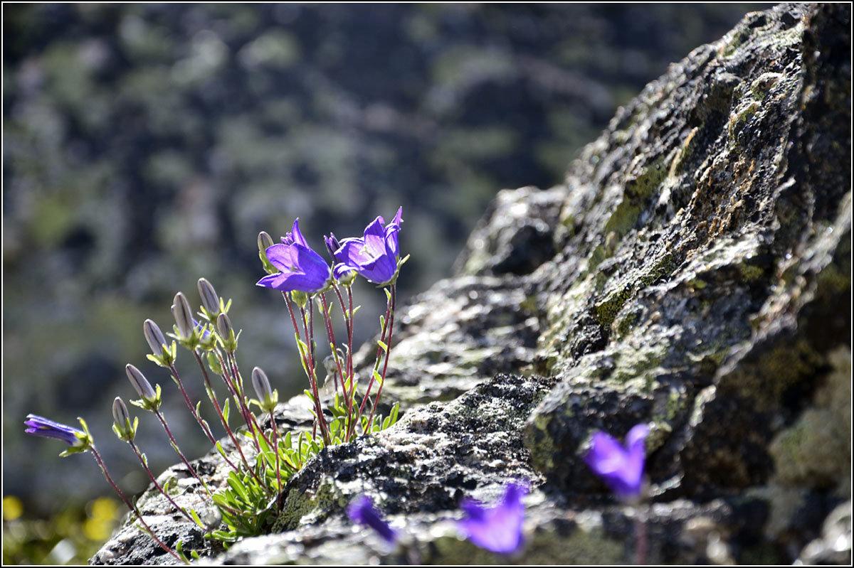 Цветы на камнях - Николай Кувшинов