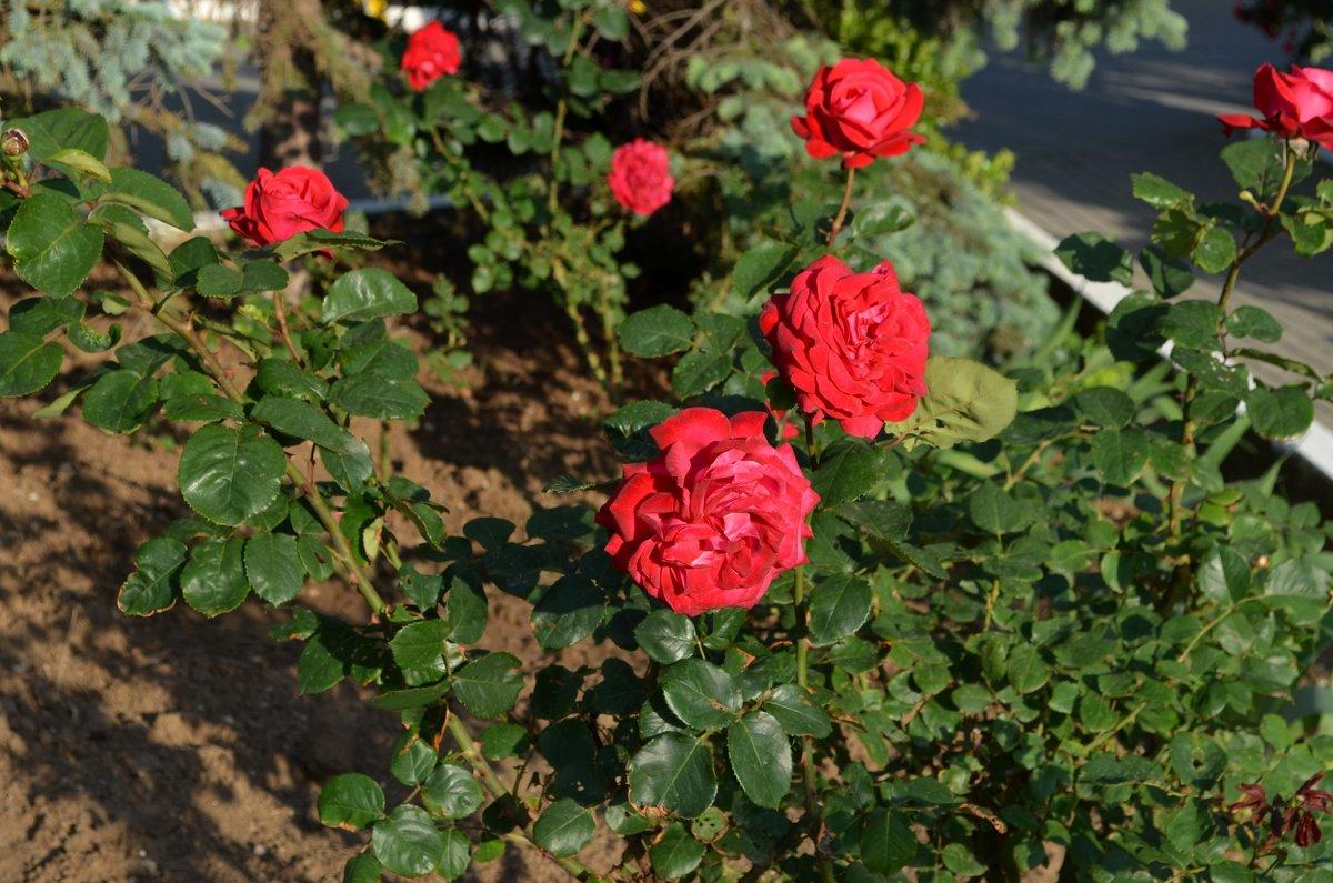 Розы - Людмила