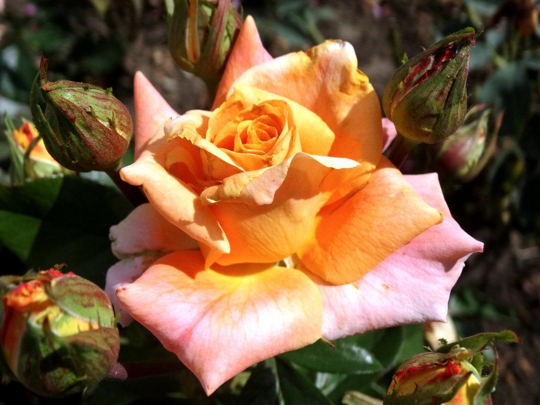 Розы сентября... - Тамара (st.tamara)