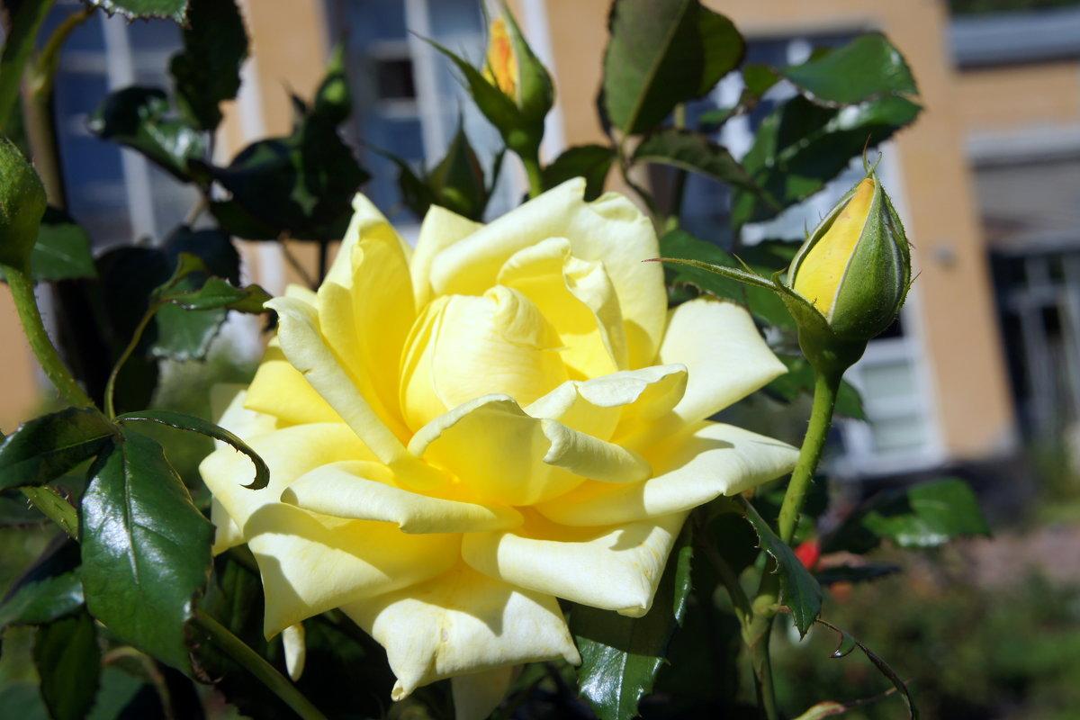 """Роза """"Landora"""". Год создания 1988. Группа флорибунда розы - Елена Павлова (Смолова)"""