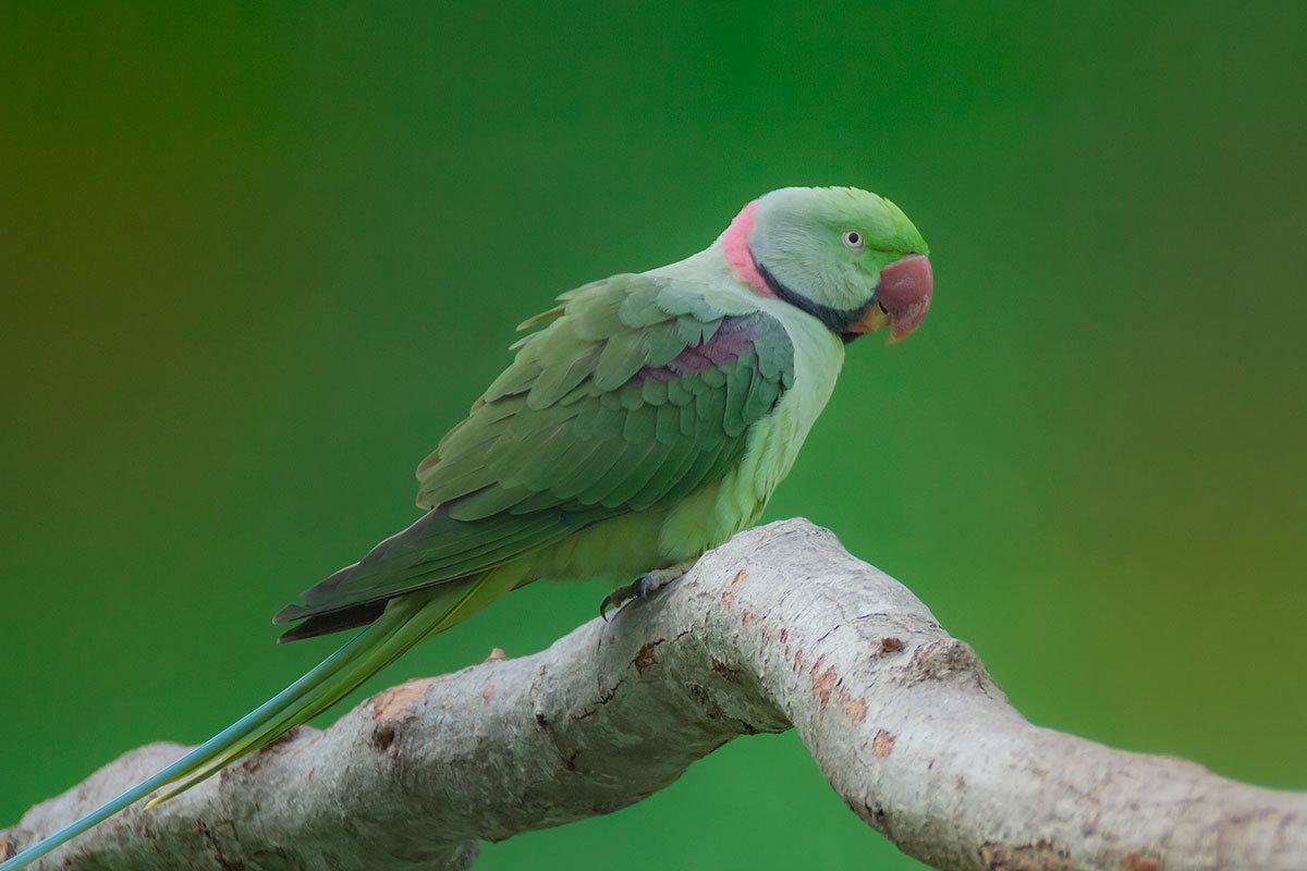 Попугай Крамера или малый ожереловый - Ирина Рассветная