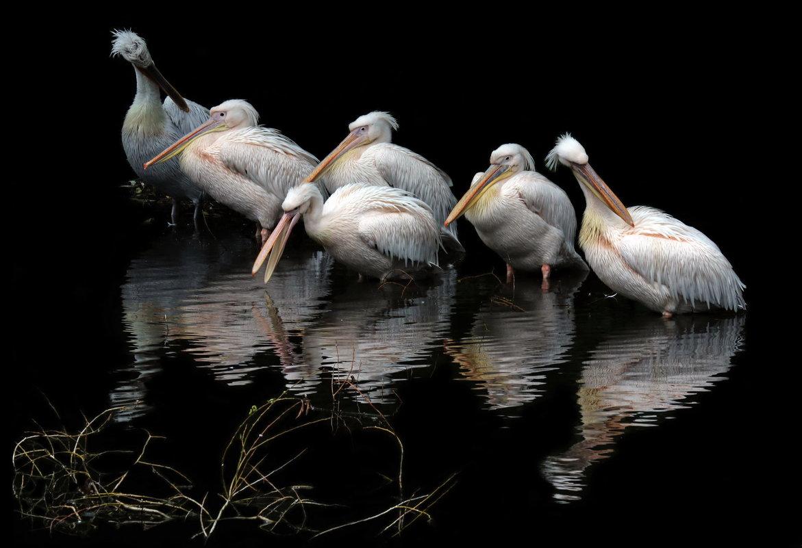 пеликаны - Михаил Бибичков
