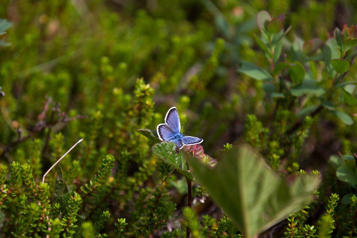 Бабочка - Иван