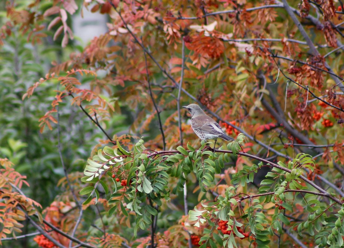 Вот и осень, рябинники прилетели - Ната Волга
