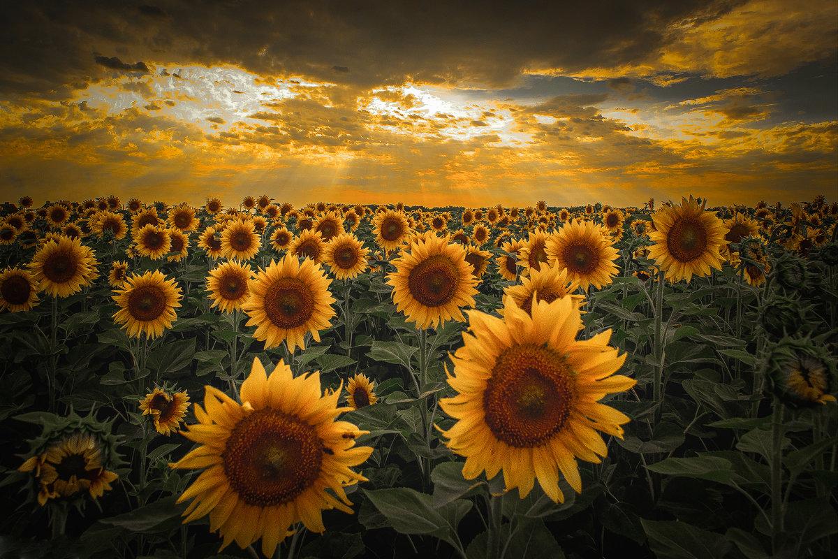 Золотой цветок полей! - Александр Сыроватка
