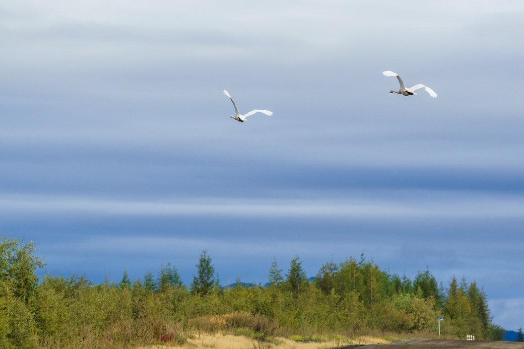 Над землей летели лебеди. - Юрий Харченко
