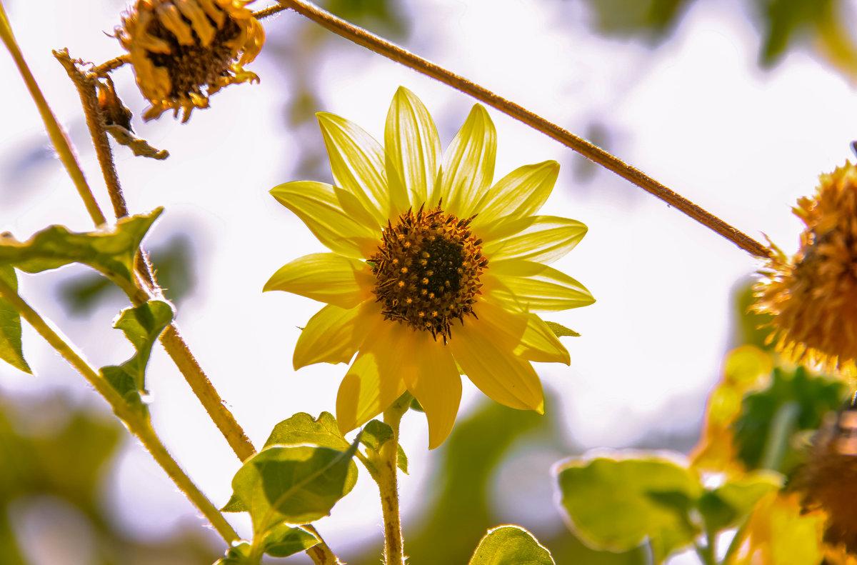 Солнечный цветок - Николай Волков