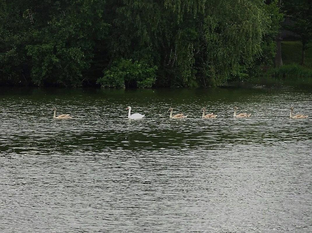 Там вдали, семья лебедей плывёт... - Маргарита Батырева