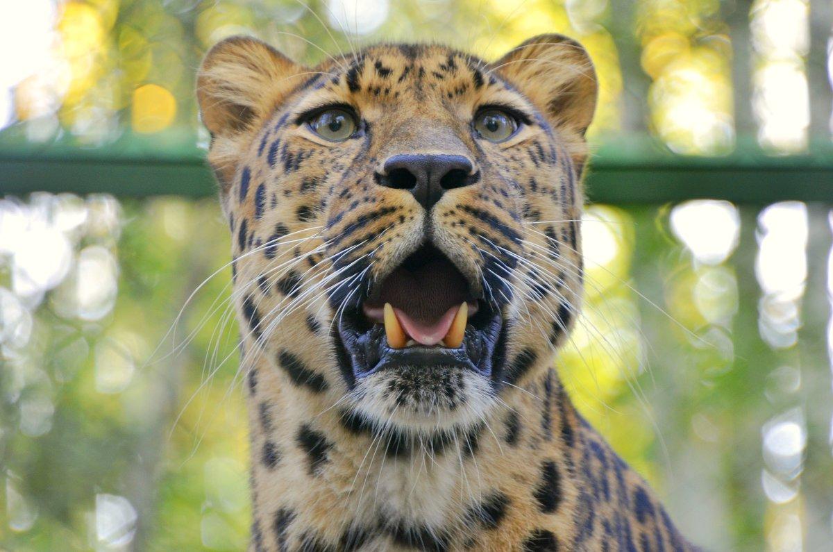 Дальневосточный леопард - Светлана Винокурова